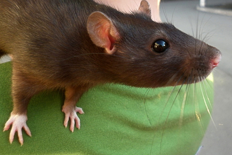3 Dangerous Types of Rodents Found in Dallas