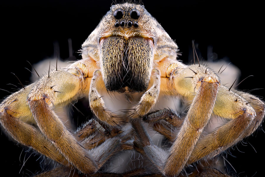 A spider, which is a dangerous pest in Dallas, Texas