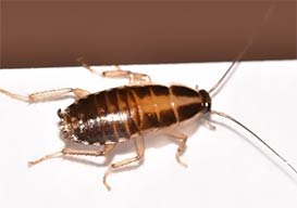 Integrity Termite & Pest Services - German Roach Cleanout