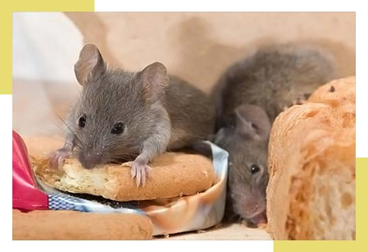 Mice Exterminator and Pest Control Service Dallas Fort Worth