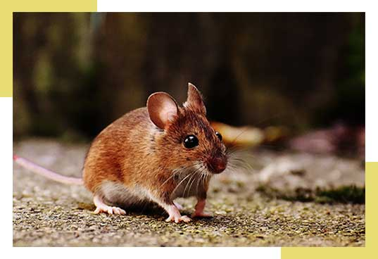 Rodent Control and Removal Dallas Fort Worth