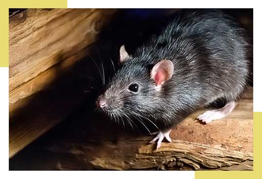 Request Rat Removal or Rat Control