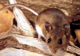 Integrity Termite & Pest Services - Rodent Control