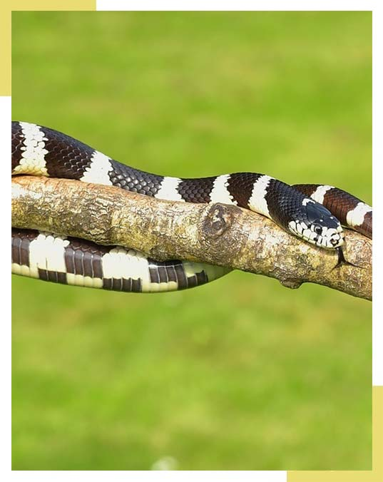 Snake Control in Dallas, Fort Worth TX