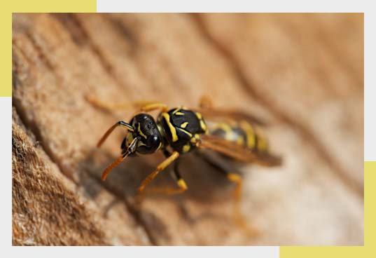 Wasp & Bees Removal in Dallas Fort Worth