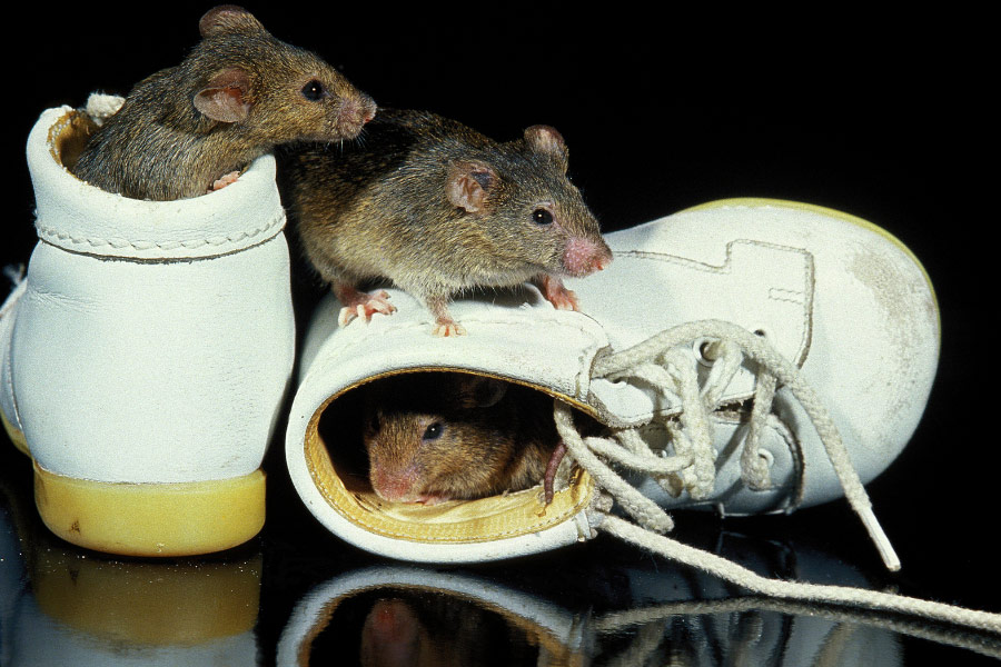 rodents inside shoes